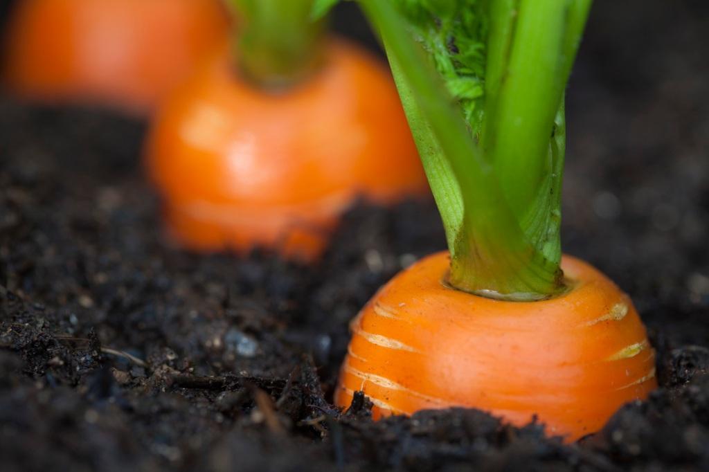Carrots, garden, organic, Alaska, Kodiak Island, agriculture, macro, close-up, gardening, how to, tips