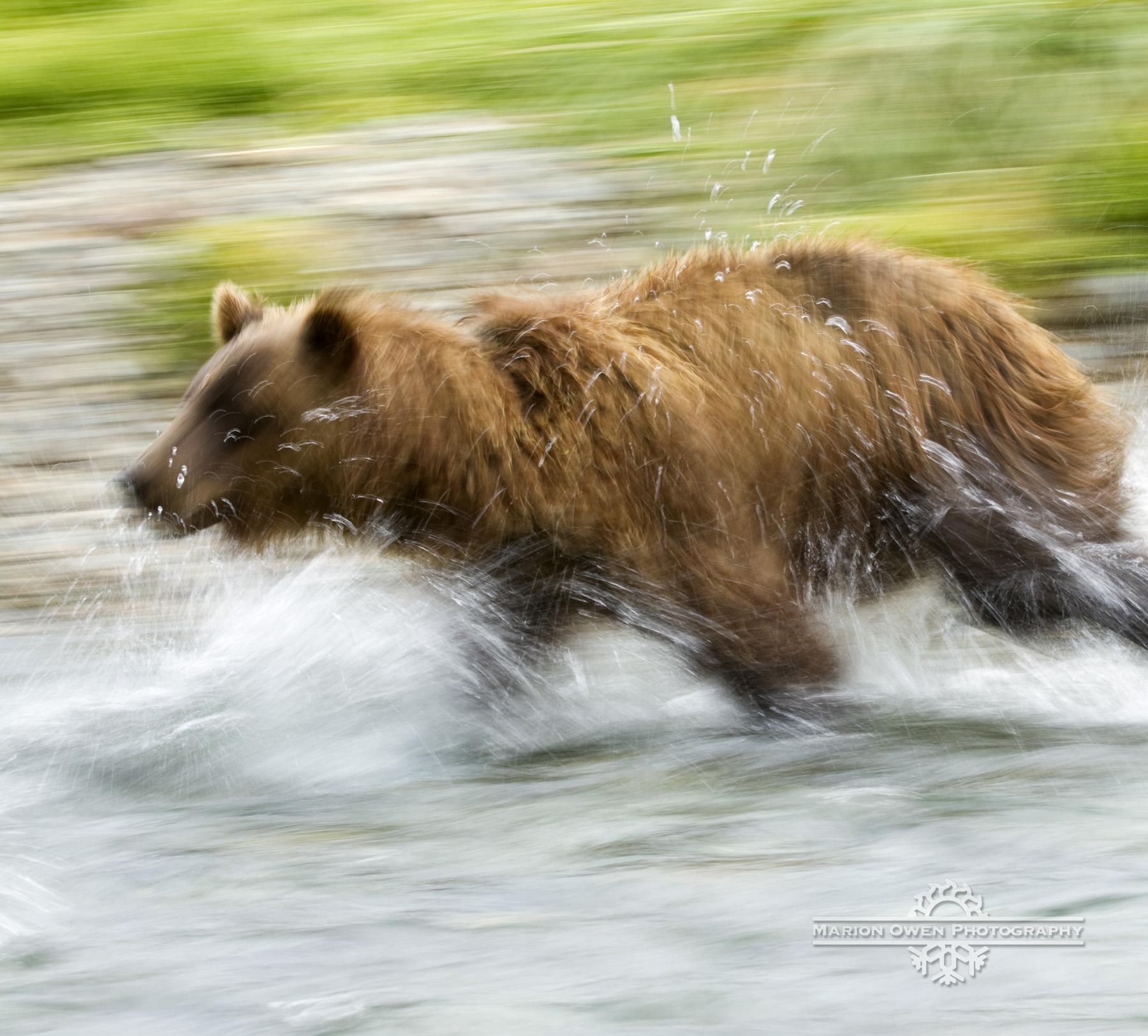 brown, bear, grizzly, katmai, kodiak, alaska, salmon, park, photograph, Marion, Owen