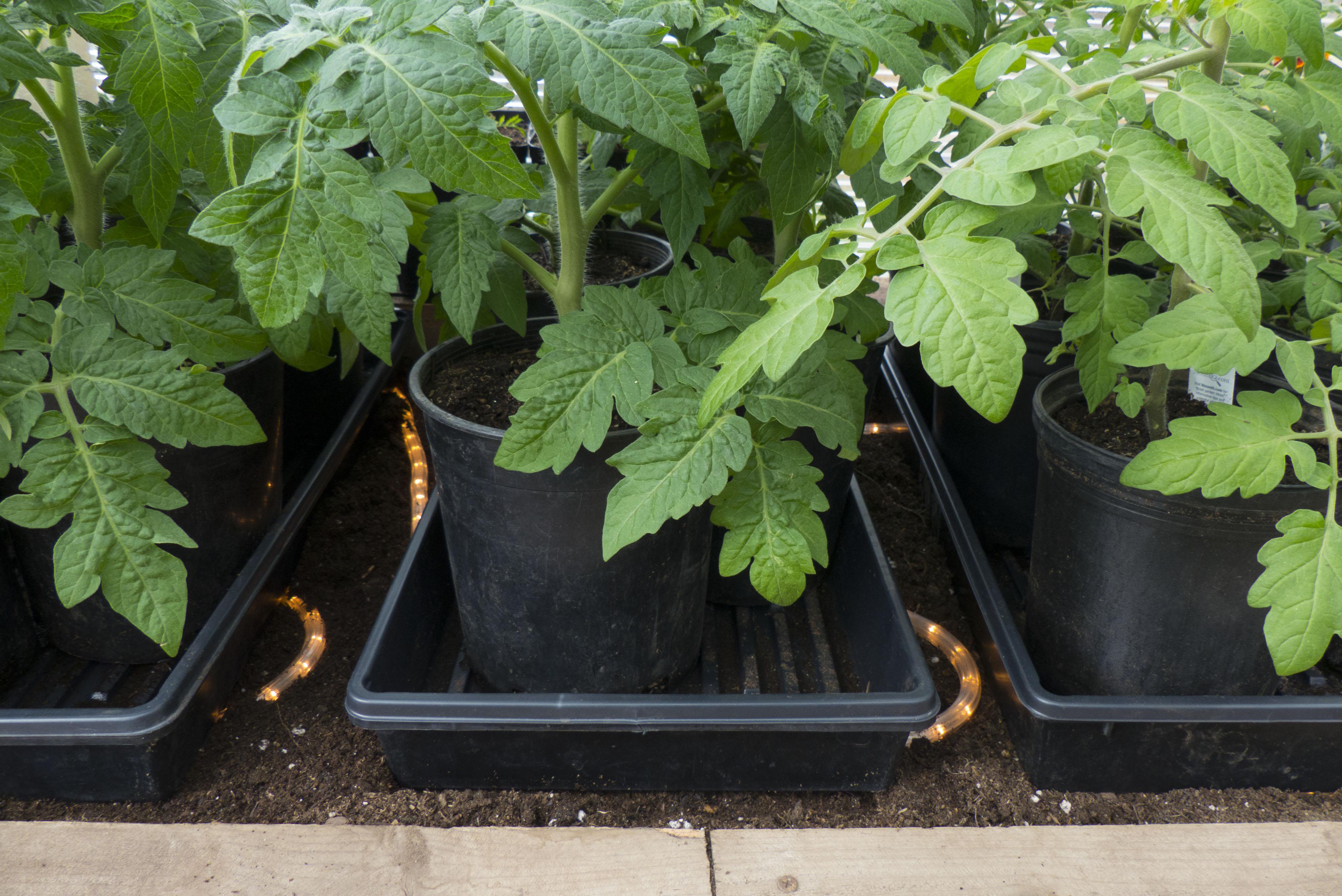 Выращивание томатов в низких парниках на садовом 68