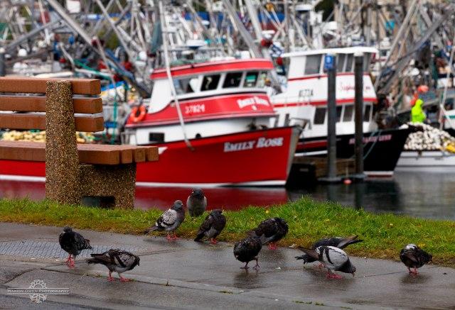 fishing, commercial, Alaska, Kodiak Island, Kodiak, weather, salmon, seiners, Gulf of Alaska, boats, harbors, southwest, south-central, pigeons