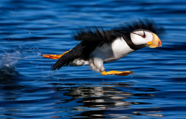 Puffin, Alaska, Kodiak, Island, horned, alcid