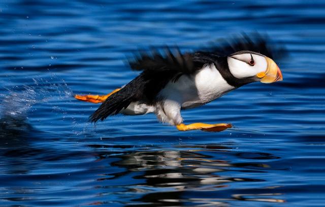 Puffin, Alaska, Kodiak, Island, horned, alcid