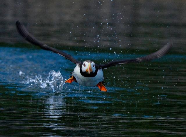 Puffin, Alaska, Kodiak, Island, horned, alcid, wings