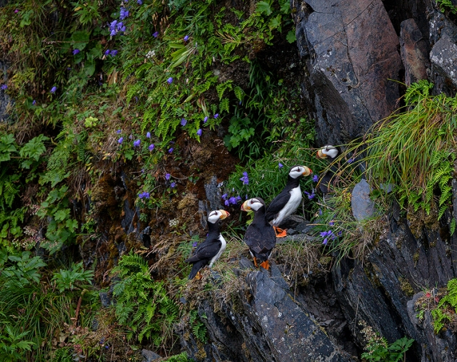 At first glance, you might think these puffins are standing around, admiring the blue harebells. They're actually resting for a few moments after crash-landing on this ledge. Puffins might fly like angels underwater, but grace and agility stops there.