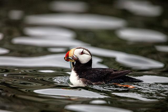 puffin, Alaska, Kodiak, Island, horned, alcid, wings, fish, breakwater, Fratercula corniculata, St. Herman harbor