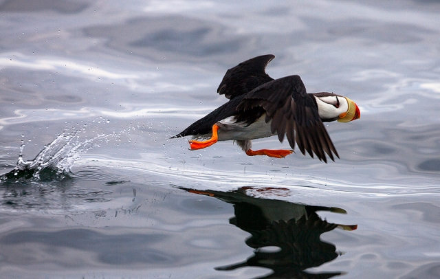 puffin, horned, Kodiak, Alaska, Fratercula corniculata