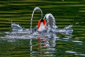 puffin, flying, wings, kodiak, Alaska, horned, alcid, ocean, seabirds, photography, diving, fish