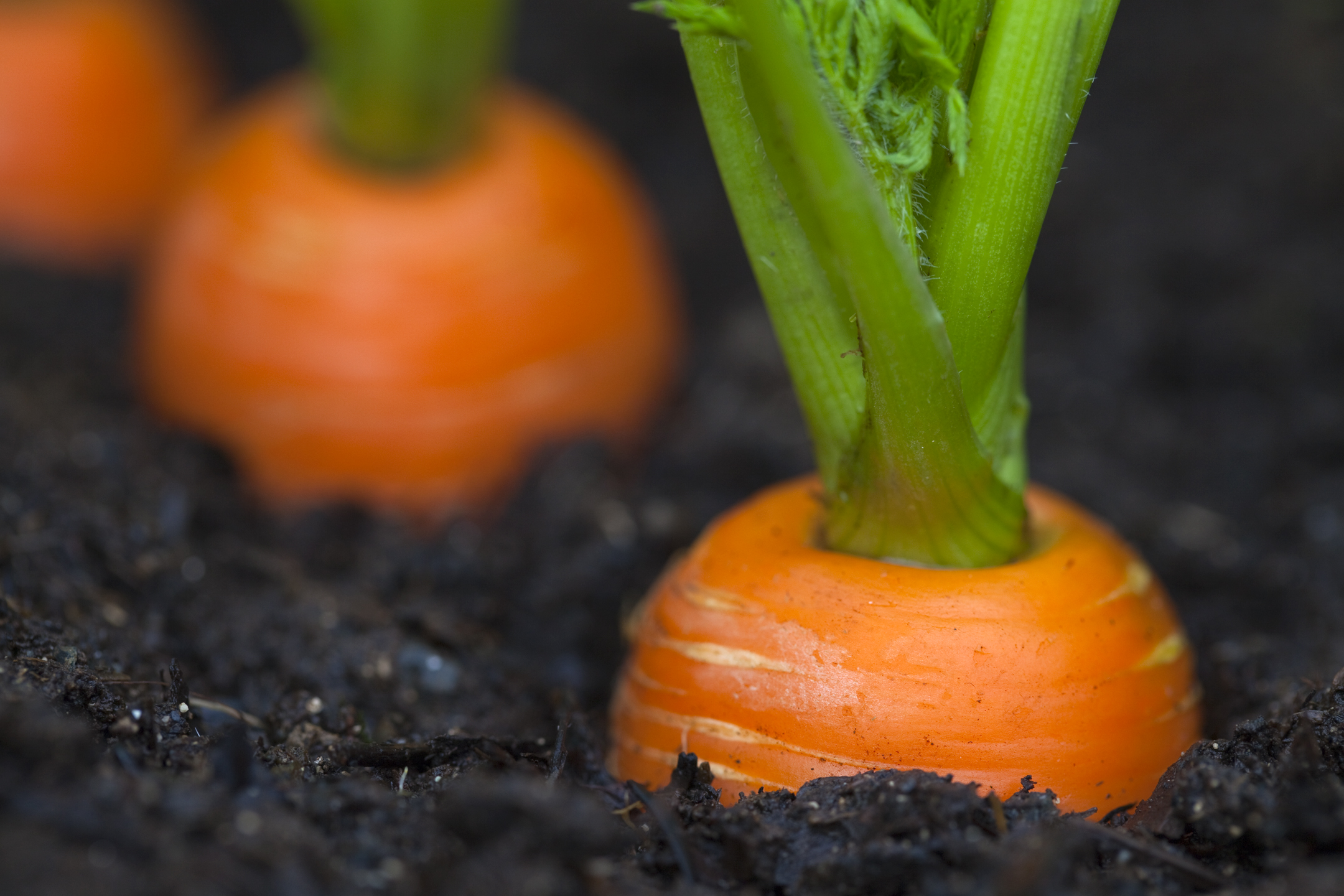 Here s why carrots ought to be in your veggie garden for Carote coltivazione