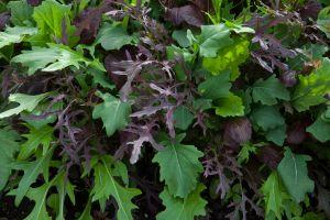 garden, organic, greens, mustard, salad