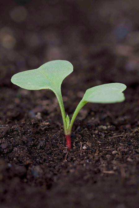 radish seedling, garden, vegetable