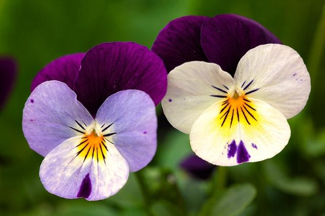 pansies, viola, flowers, garden