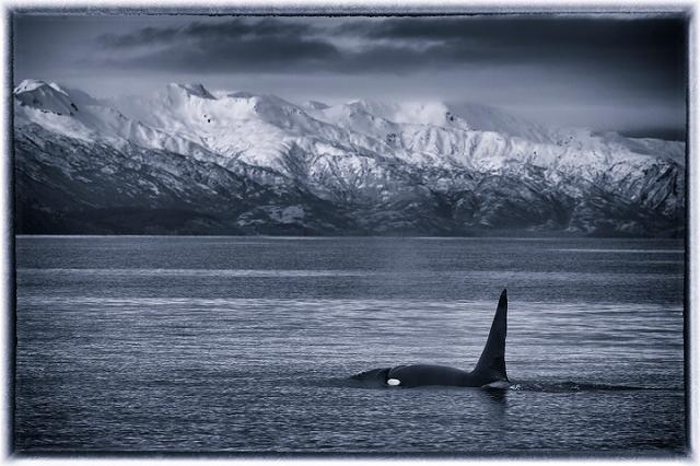 Orca, whales, ocean, Kodiak, Alaska, mountains