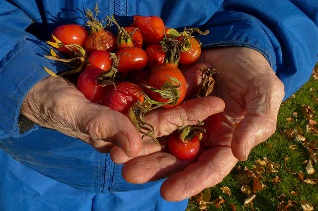 rose hips, wild harvest, hands, red