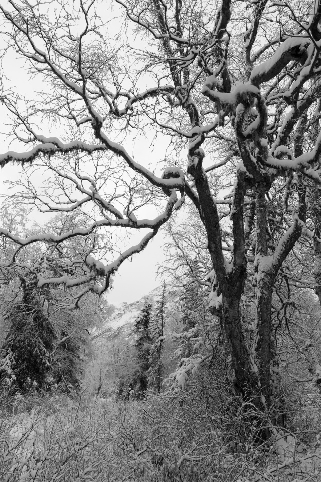 Cottonwood, trees, alaska, winter, landscape, snow