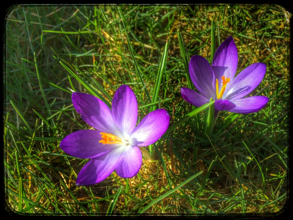 Purple crocus poke up through the lawn, Kodiak, Alaska