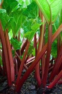 Red rhubarb stalks