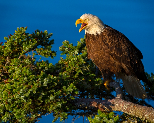 bald, eagle, Alaska, Kodiak, raptor, Haliaeetus leucocephalus