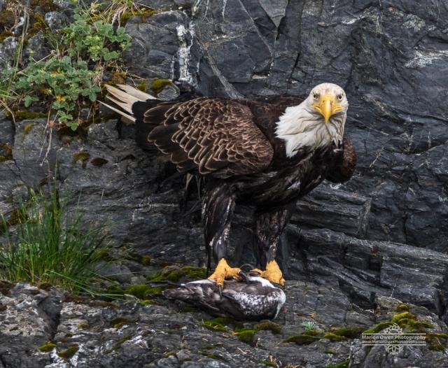 bald, eagle, prey, bird, Alaska, Kodiak, murre, raptor, Haliaeetus leucocephalus