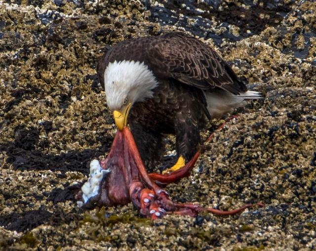 bald, eagle, Alaska, Kodiak, feeding, octopus, raptor, Haliaeetus leucocephalus