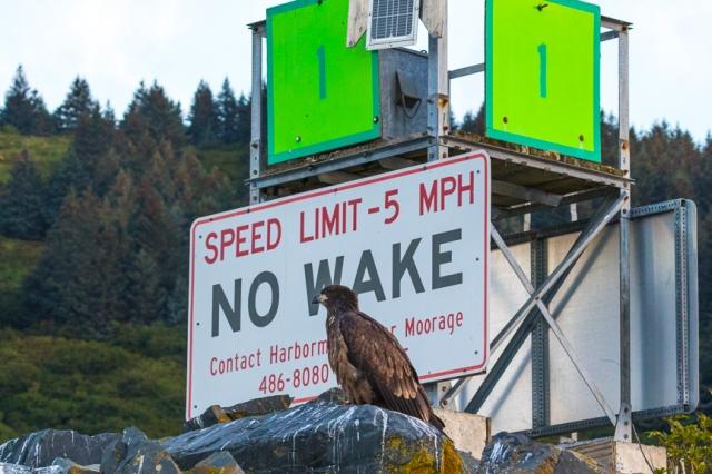 bald, eagle, Alaska, Kodiak, immature, raptor, Haliaeetus leucocephalus