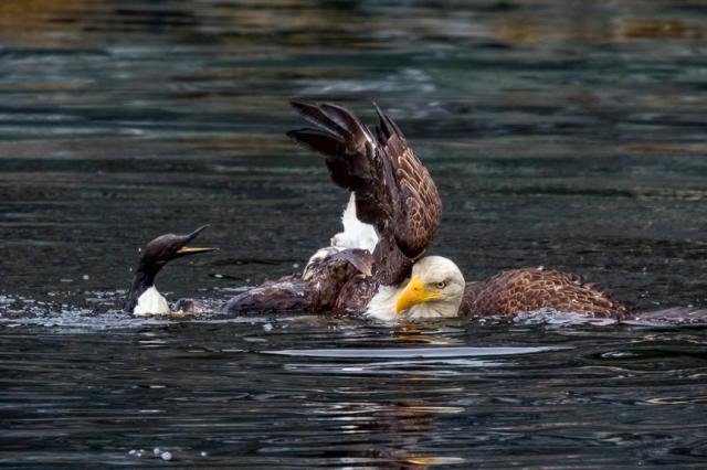 bald, eagle, Alaska, Kodiak, murre, raptor, Haliaeetus leucocephalus