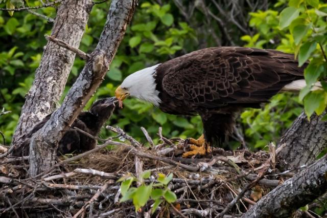 bald, eagle, nest, Alaska, Kodiak, chick, immature, raptor, Haliaeetus leucocephalus