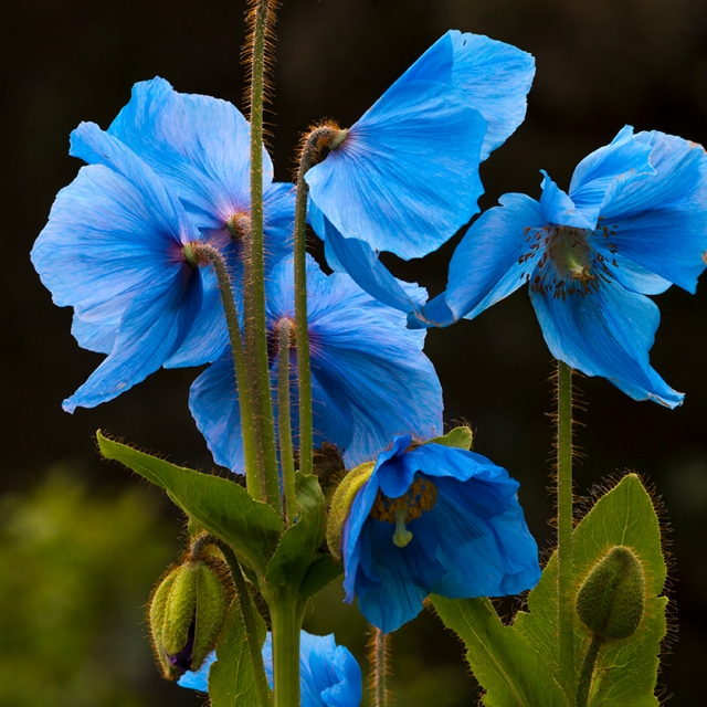 poppies, blue poppies, Himalayan poppies