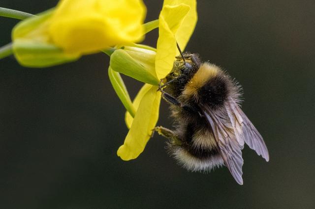 bumblebee, bee, pollinator, Kodiak, Alaska, garden, flowers