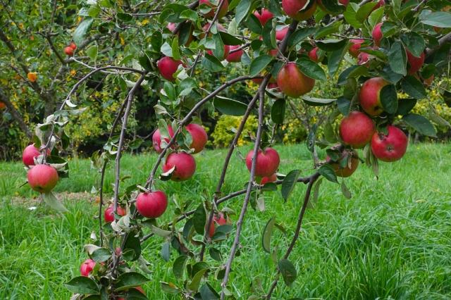 apple orchard, organic