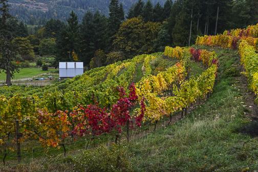 Fall colors brighten a vineyard on Salt Spring Island, BC