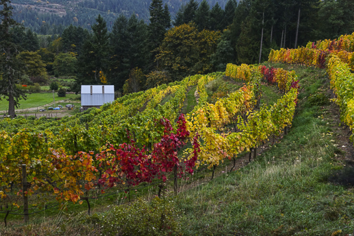 Fall colors brighten a vineyard on Salt Spring Island, BC
