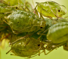 Aphids, pests