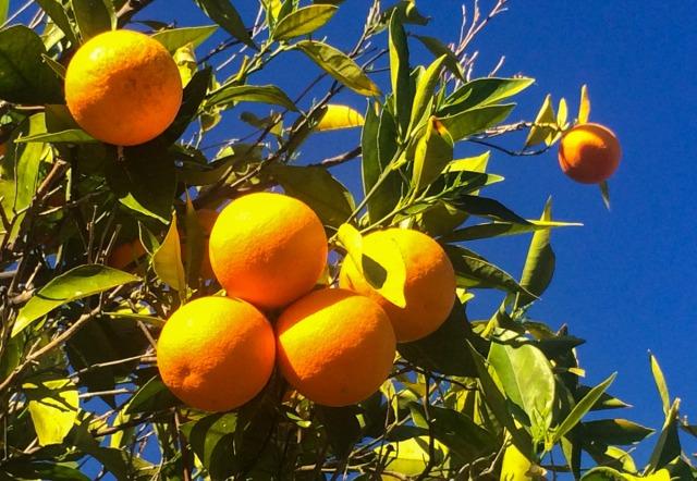 oranges, orange juice, frozen, Bakersfield, winter, fruit, peel, zest, recipe