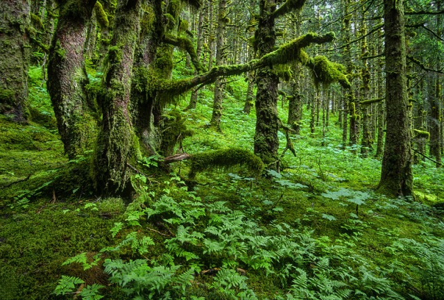 forest, tree, spruce, Kodiak, Alaska, rainforest, hike,