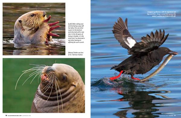 Puffins, horned puffins, photograph, photo, photography, Alaska Magazine, Alaska, ocean, sea otter, starfish, sea lion, Steller sea lion, pigeon guillemot, seabirds, sea, Marion Owen