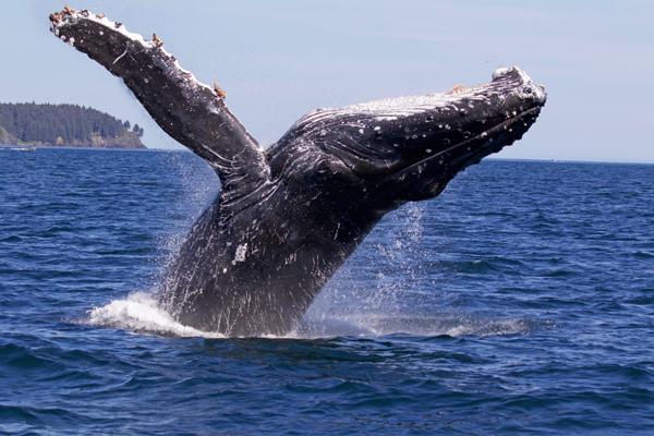 humpback, whale, Alaska, breaching, ocean, whale watching, photograph