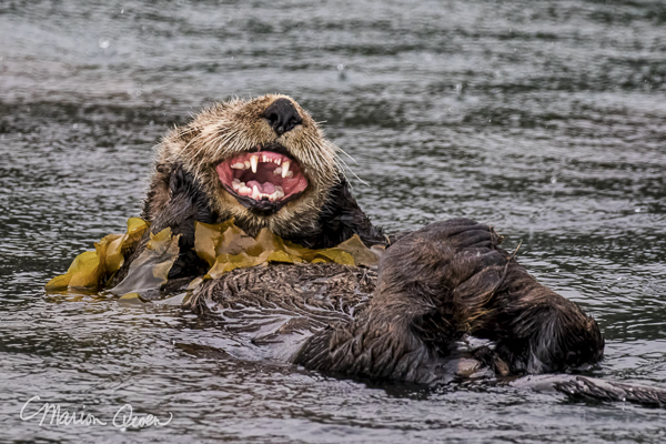 Sea otter, teeth, fur, Kodiak, Alaska, preening, kelp,