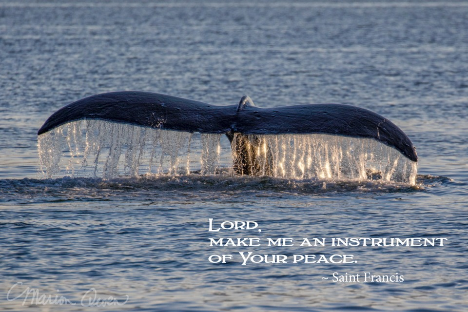 posters, peace, prayer, quote, quotations, photograph, Kodiak, Alaska, Marion Owen, whale, tale, humpback, saint francis