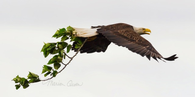 bald, eagle, Alaska, nesting, adult