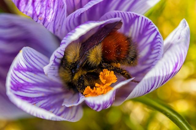 bumblebee, crocus, spring, flower, nectar, pollen, wild, alaska, kodiak, macro