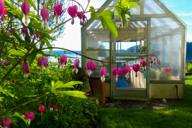 bleeding heart, greenhouse, garden, lawn, flowers, perennials, Alaska