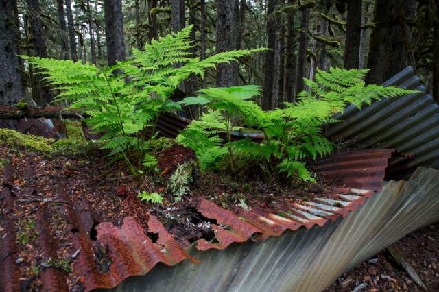 Quonset, WWII, World War 2, Kodiak, Alaska, moss, ferns, corrugated metal, spruce forest, Long Island, prayer, peace