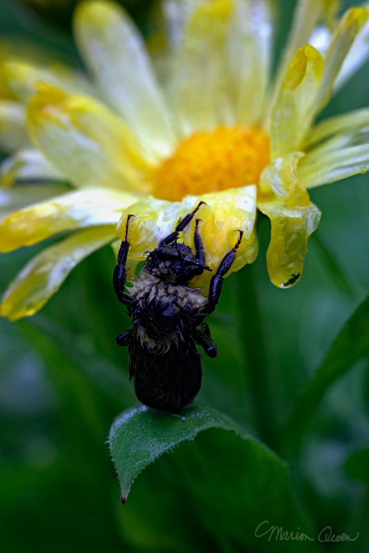 bumblebee, bumble, bee, macro, rain, metabolism, flower, God, tenacity, courage, will, Marion Owen, Kodiak, Alaska, photographer