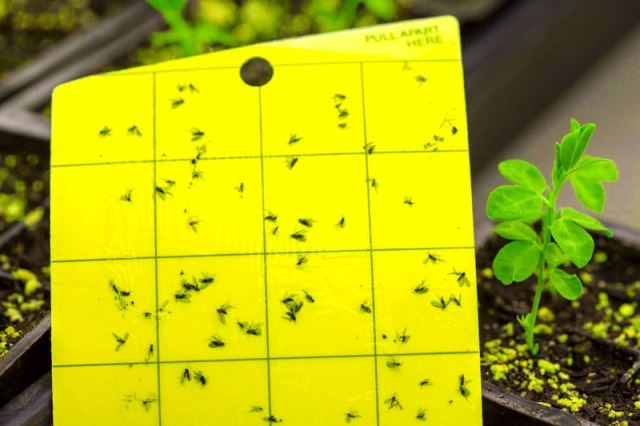 sticky trap, fungus gnats, garden pests, indoor plants,